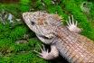 Abronia lytrhrochila. Chiapas. Foto de Peter Heimes