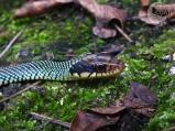 Drymobius margaritiferus Culebra corredora de Petatillos Spekled Racer