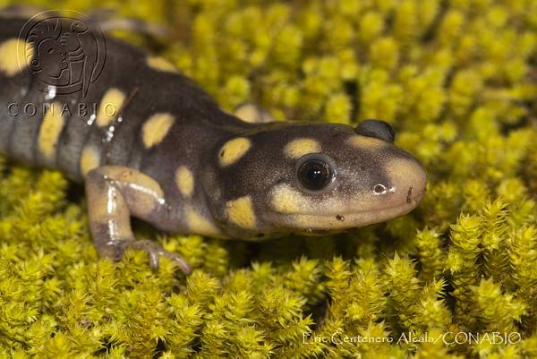 Ambystoma rosaceum