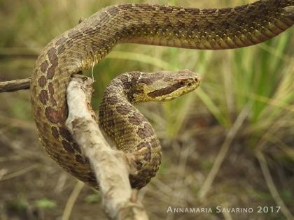 Crotalus triceriatus (Foto: Annamaria Savarino Drago). Milpa Alta, Ciudad de México